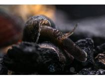 James Ong CK's long-nosed snail